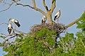 White Storks (Ciconia ciconia) nesting (26475598391).jpg