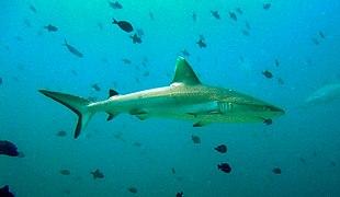 White Tip.Reef Shark off the Maldive Islands.JPG