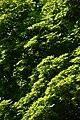 Wiener Naturdenkmal 501 - Spitzahorn (Döbling) g.JPG
