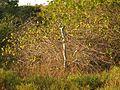 Wild Cotton - Flickr - treegrow.jpg