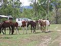 Wild horses (brumbys) for tim n' cathy.jpg