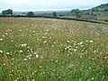 Wildflower Meadow - geograph.org.uk - 81827.jpg
