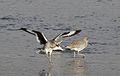 Willet, Tringa semipalmata, Moss Landing and Monterey area, California, USA. (30919423075).jpg