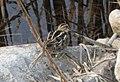 Wilson's Snipe at Eastern Massachusetts NWR (4622278118).jpg