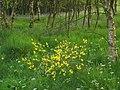 Woodland flowers in Mugdock Wood - geograph.org.uk - 1111694.jpg