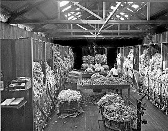 Wool classing - Wool classing room, Queensland, Australia, circa 1926