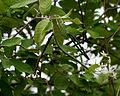 Wrightia tinctoria in Keesaraguda, AP W IMG 9065.jpg