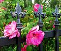 Wrought Iron and Roses 4-16-15 (17302463621).jpg