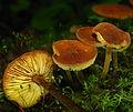 Xeromphalina tenuipes 85420.jpg