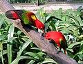 Yellow-backed Lorikeet (Lorius garrulus) -Kuala Lumpur Bird Park2.jpg