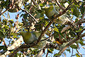Yellow-footed Green Pigeon I IMG 9839.jpg