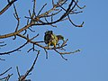 Yellow-footed green pigeon 01.jpg