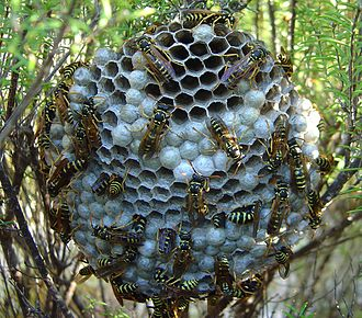 Group size measures - Image: Yellow Paper Wasp