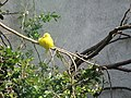 Yellow bird at Dublin Zoo. - geograph.org.uk - 1220684.jpg