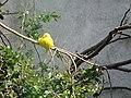 Yellow bird at Dublin Zoo. - geograph.org.uk - 1220684.jpg
