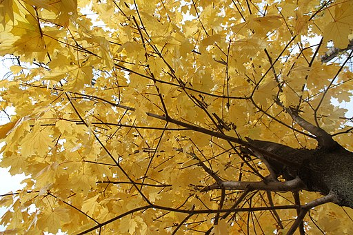Yellow leaves on Tree, Lempdes