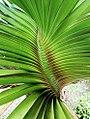 Young rosette of Rodrigues screwpine - P heterocarpus - 5 senses 1.jpg