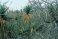 Yucca capensis fh 0614 Baja California Sur B.jpg