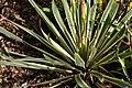 Yucca filamentosa Bright Edge 1zz.jpg