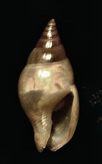 <i>Zafrona</i> genus of molluscs