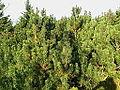 Zakrslá borovice na Ještědu.jpg