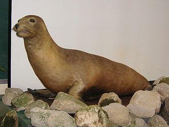 Japanese sea lion - Taxidermied specimen, Tennōji Zoo, Osaka, Japan