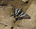 Zebra swallowtail by Todd Crabtree (8497631189).jpg