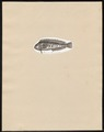 Zoarces blennoides - 1700-1880 - Print - Iconographia Zoologica - Special Collections University of Amsterdam - UBA01 IZ13600365.tif