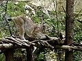 Zoo de Pont-Scorff Lynx.JPG