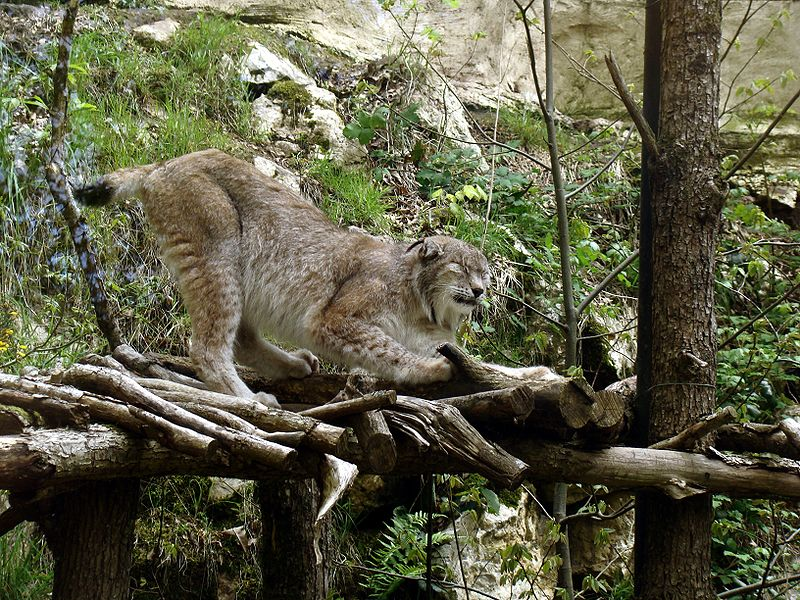 """Zoo de Pont-Scorff Lynx"" by Abujoy - Own work. Licensed under CC BY 3.0 via Wikimedia Commons - https://commons.wikimedia.org/wiki/File:Zoo_de_Pont-Scorff_Lynx.JPG#/media/File:Zoo_de_Pont-Scorff_Lynx.JPG"