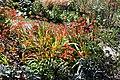 """Montbretia"" (Crocosmia) in Victorian garden Quex House Birchington Kent England.jpg"