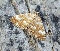 (1808) Sandy Carpet (Perizoma flavofasciata) (7349782896).jpg