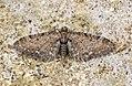 (1834) Common Pug (Eupithecia vulgata) (7048101761).jpg