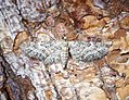 (1840) Shaded Pug (Eupithecia subumbrata) (34599963970).jpg