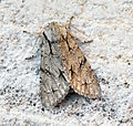 (2284) Grey Dagger (Acronicta psi) (14502334159).jpg