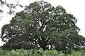 Árvore centenária - panoramio.jpg