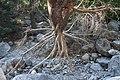 Κορμός σήμανσης στο φαράγγι της Σαμαριάς.jpg