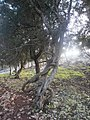 Σφενδαμόδασος Σκύρου.jpg