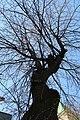Алея вікових лип у місті Вінниця. Фото 2.jpg