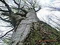 Букові ліси Кобилецької Поляни.jpg
