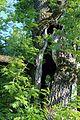 Вікові дуби в обсерваторії IMG 7503 07.jpg