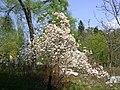 В Светлогорске (Калининградская область) цветёт магнолия.JPG