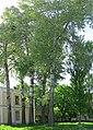 Група вікових дерев тополі білої 002.jpg