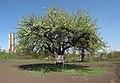 Дерево культурної груші - панорама.jpg