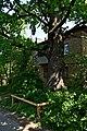 Дуб Янати DSC 0933.jpg