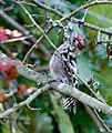 Малый пёстрый дятел - Dendrocopos minor - Lesser spotted woodpecker - Малък пъстър кълвач - Kleinspecht (36922199241).jpg