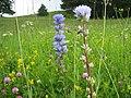 Орхидея и панаска детелина 08.jpg