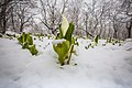 Остров Итуруп Первые цветы и опять снег.jpg
