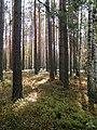 Сосновий ліс із брусничними угрупуваннями в заказнику Мисловичі.jpg