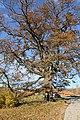Споменик природе - стабло храста цера у Доњој Црнући крај Горњег Милановца 02.jpg